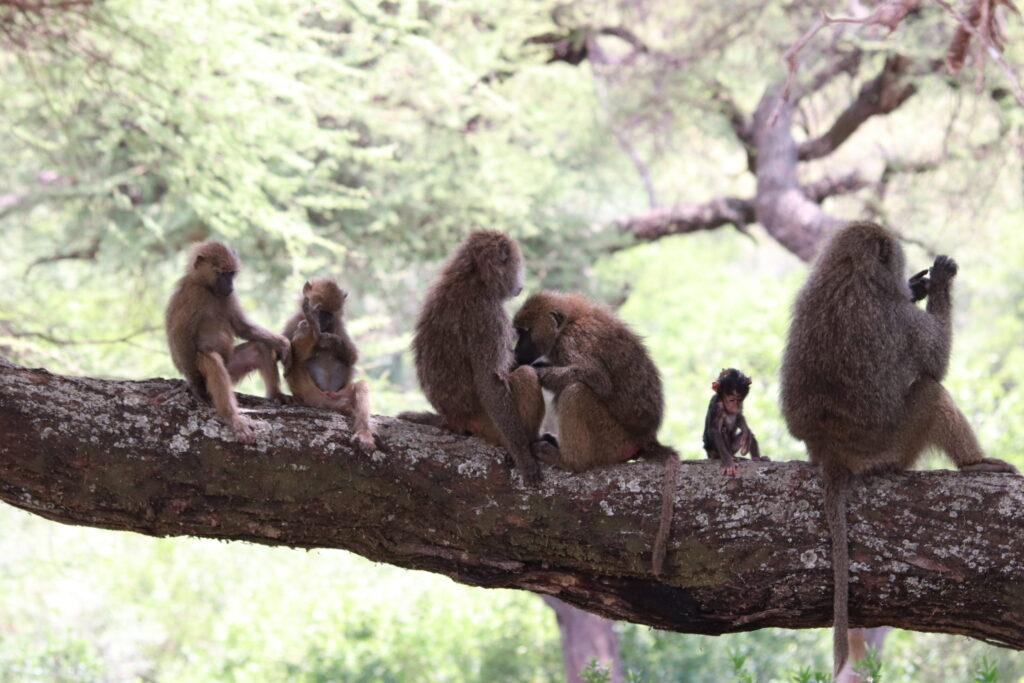 Six Baboons Sitting on Tree inLake Manyara, Tanzania, Africa