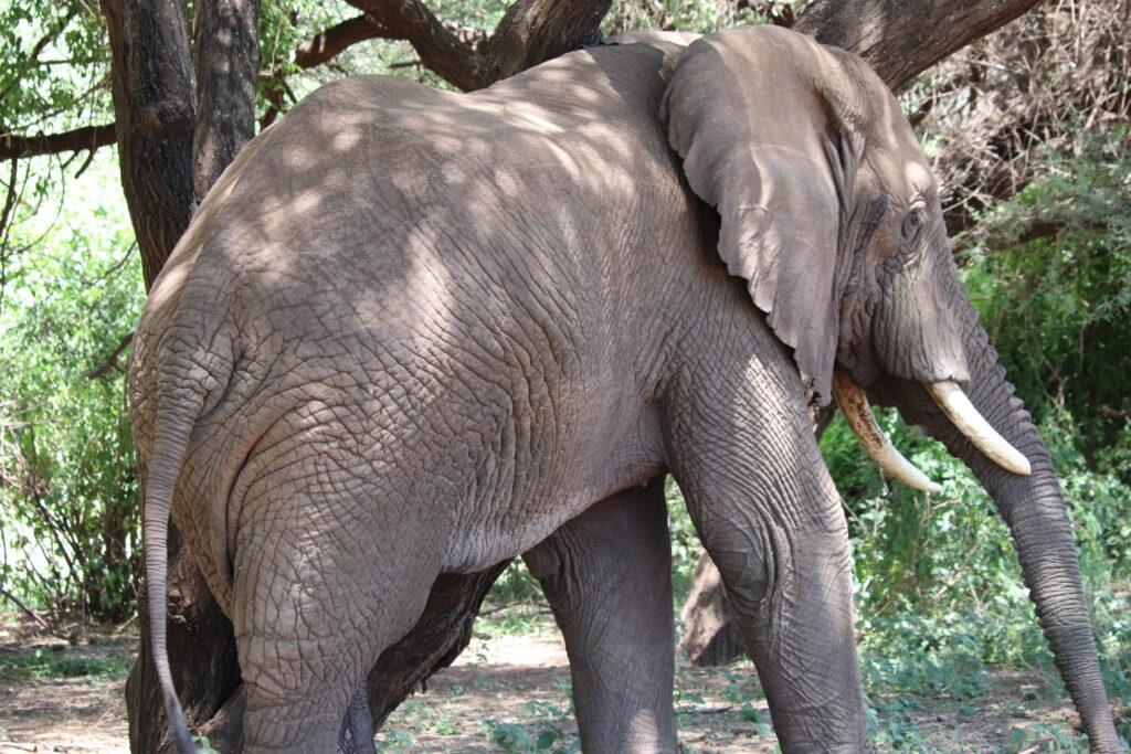 Large Male Elephant by Tree in Lake Manyara, Tanzania, Africa