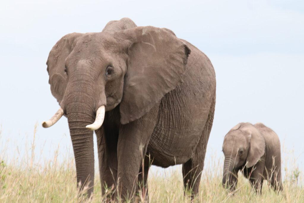 Elephant Mother and Baby in the Maasai Mara Kenya