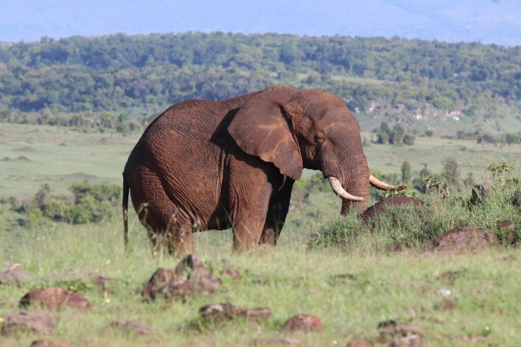 Elephant in the Maasai Mara Kenya