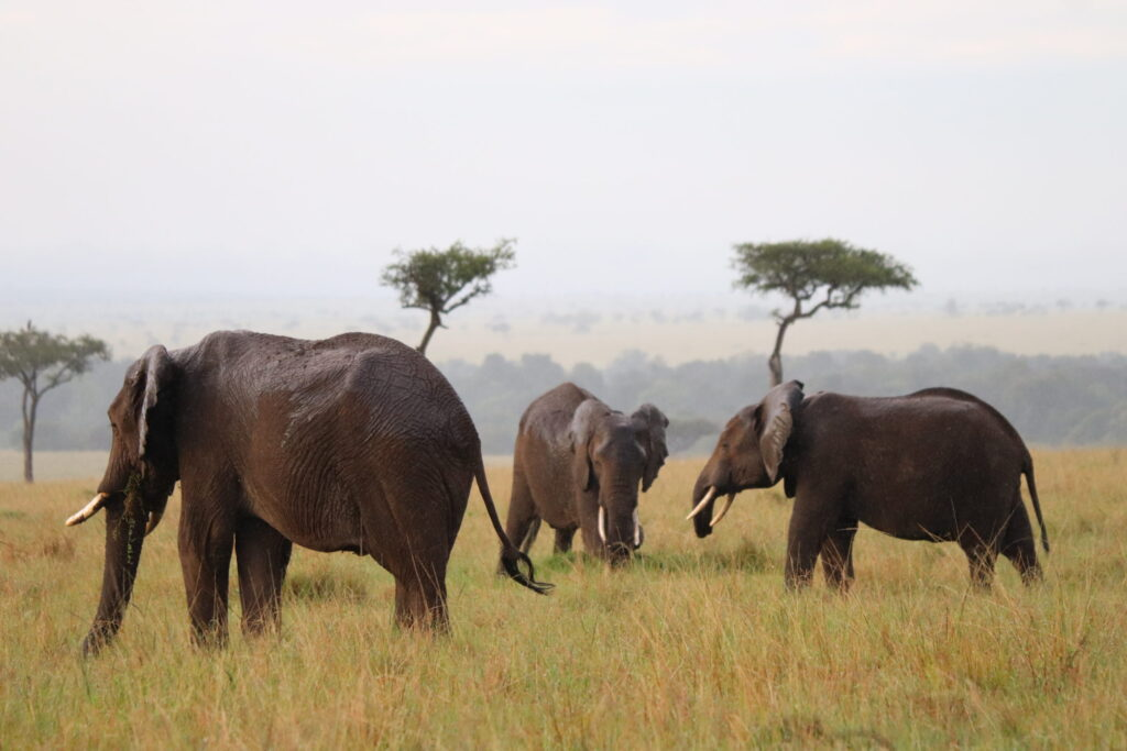 Group of Elephants in the Maasai Mara Kenya