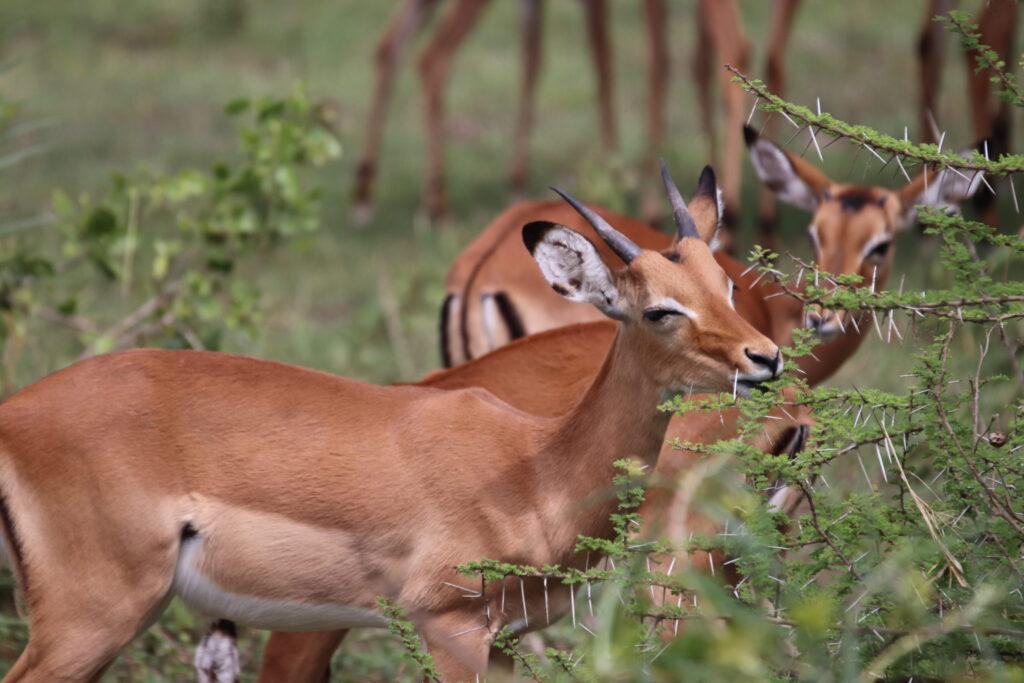Gazelle Feeding inLake Manyara, Tanzania
