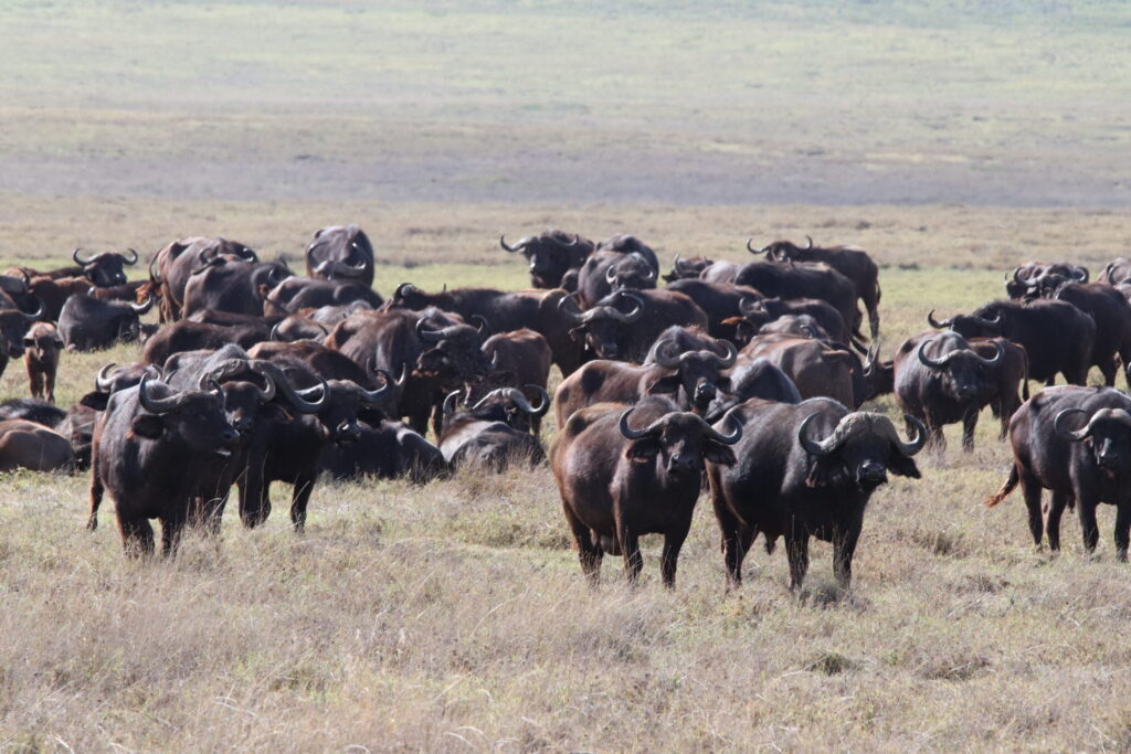 Herd of African Cape Bufffalo in the Ngorongoro Crater, Tanzania