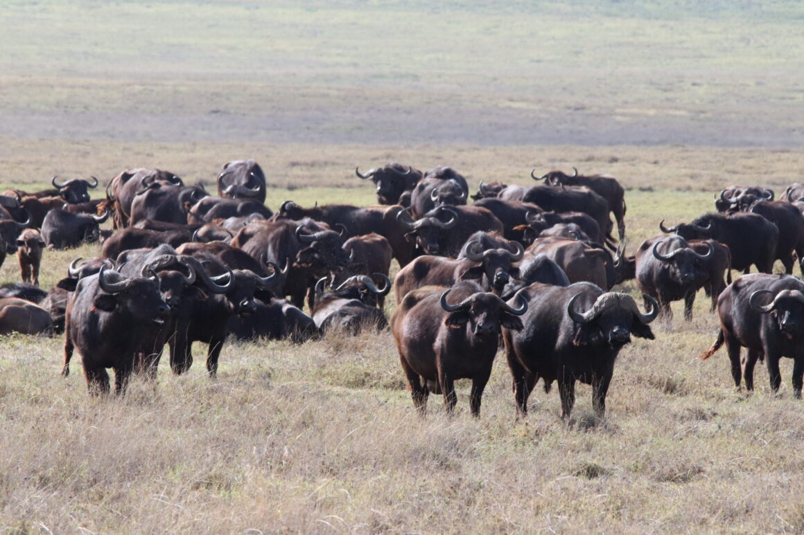Herd of African Cape Bufffalo in the Ngorongoro Crater Tanzania