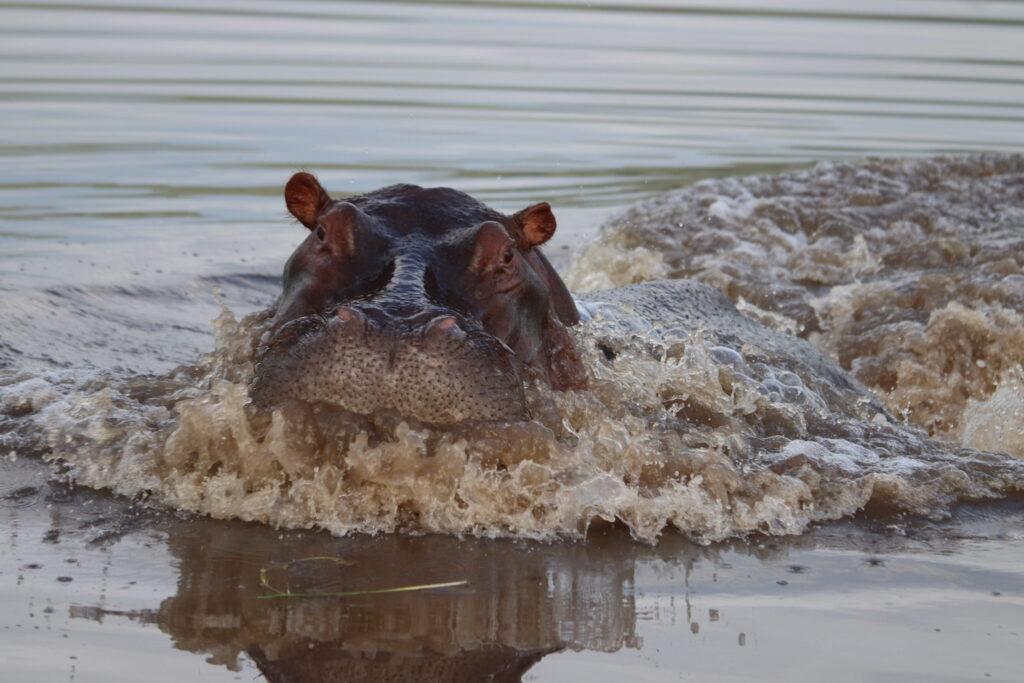 Hippo Charging in the Maasai Mara Kenya