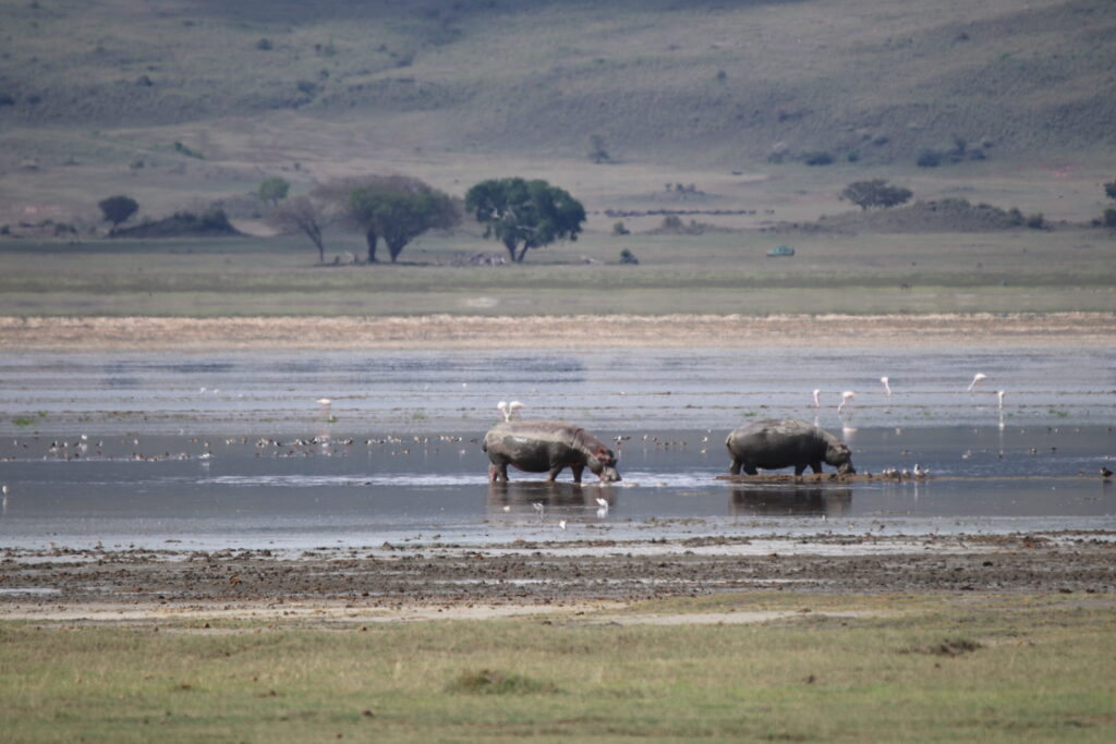 Hippos in Ngorongoro Crater, Tanzania