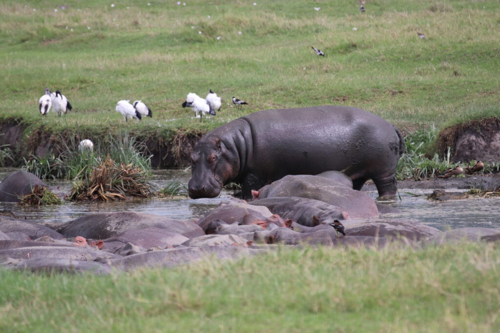Hippos in a Pond in Ngorongoro Crater, Tanzania