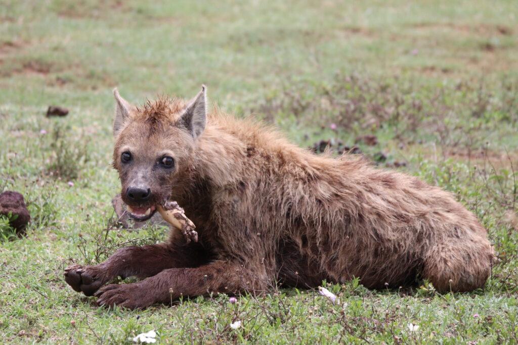 Hyena Chewing On Bones in the Ngorongoro Crater, Tanzania