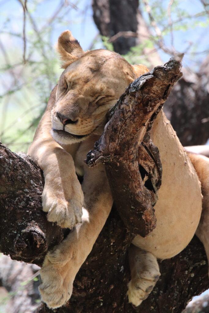 Lion Sleeping in the Tree in Lake Manyara, Tanzania, Africa