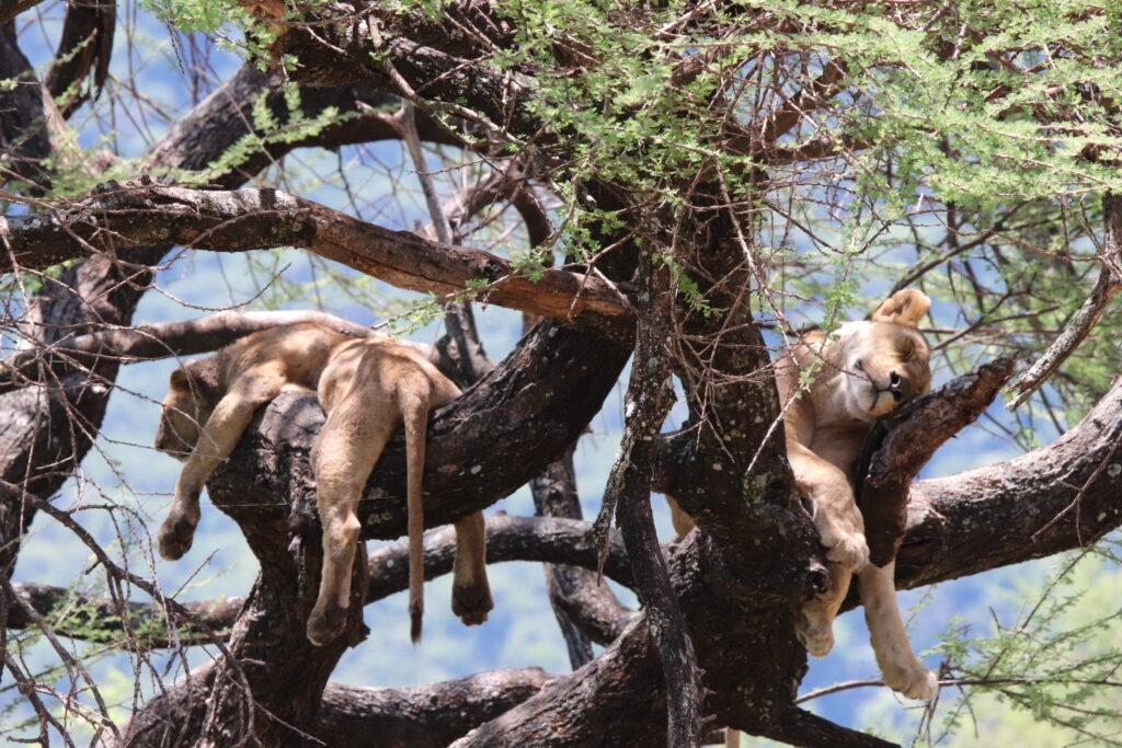 Two Lions Sleeping in the Tree in Lake Manyara, Tanzania, Africa