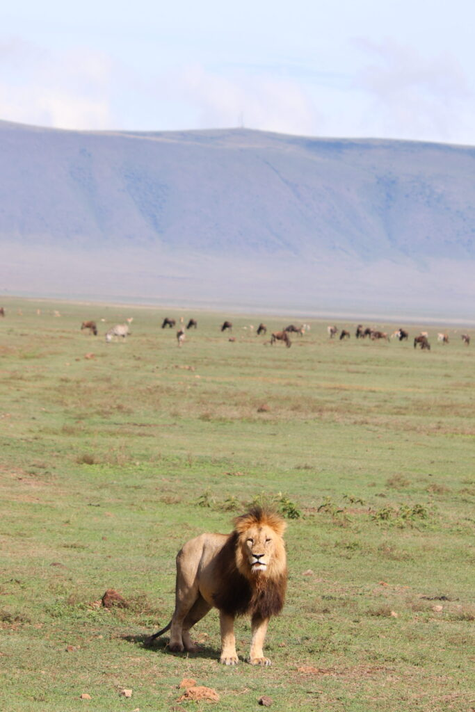 Male Lion Standing in Ngorongoro Crater, Tanzania