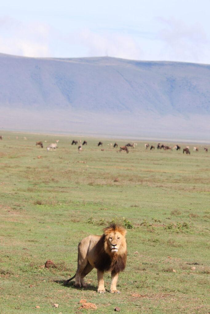 Male Lion Standing in Ngorongoro Crater, Tanzania