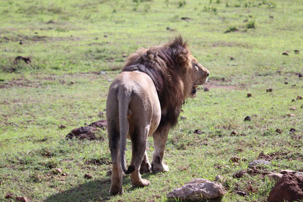 Male Lion Walking Away in the Ngorongoro Crater, Tanzania