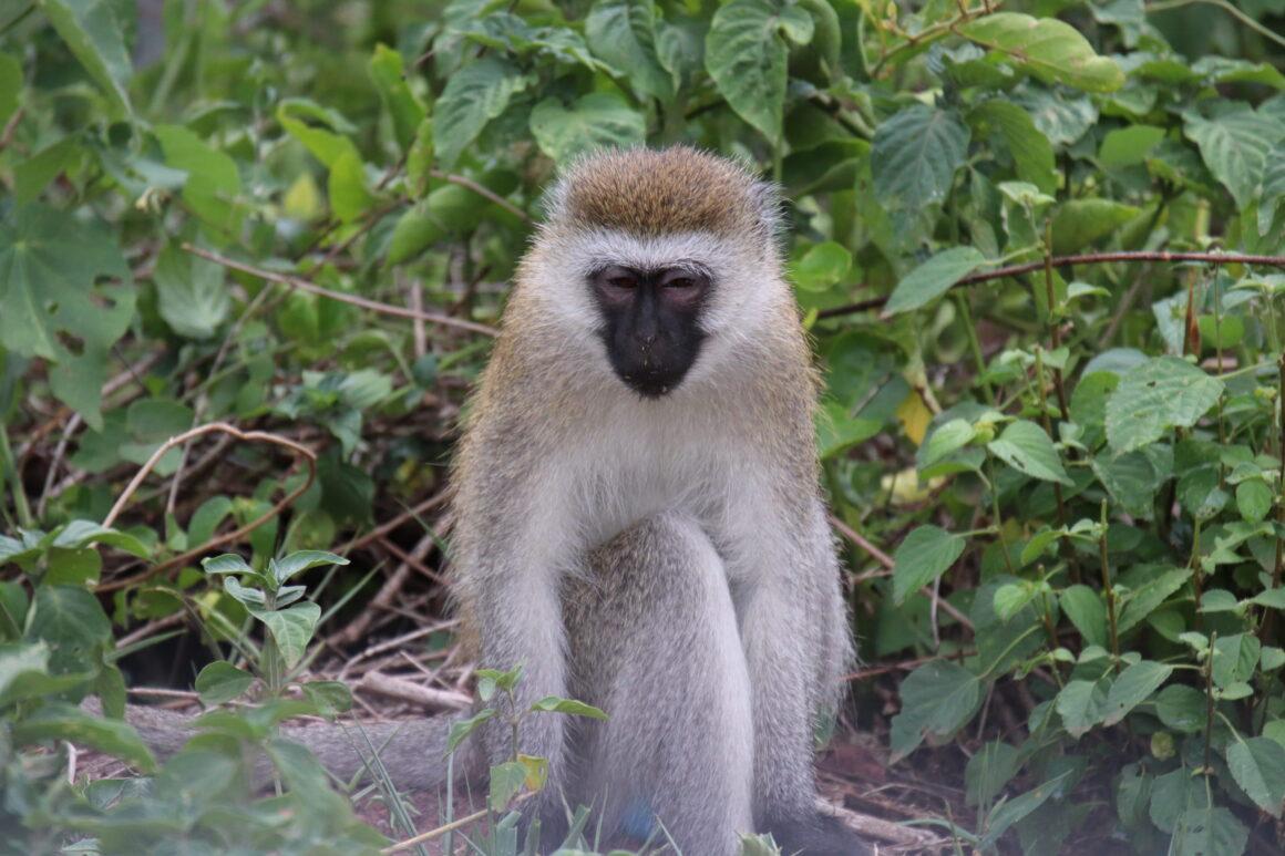 Vervet Monkey in Lake Manyara Tanzania Africa