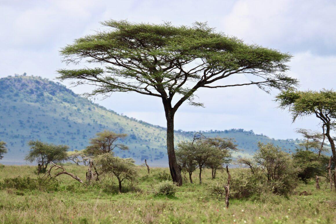 Acacia tree in the Serengeti National Park