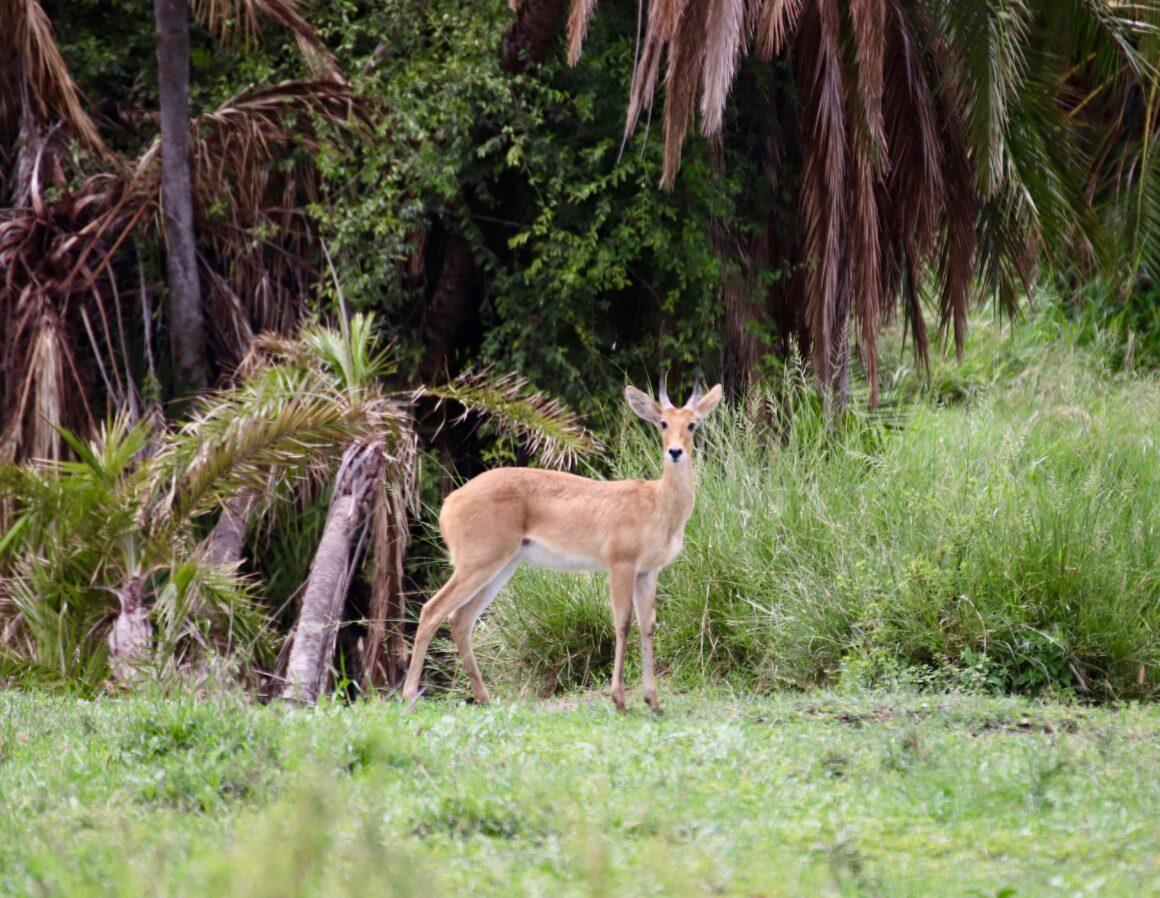 Antelope in the Serengeti National Park