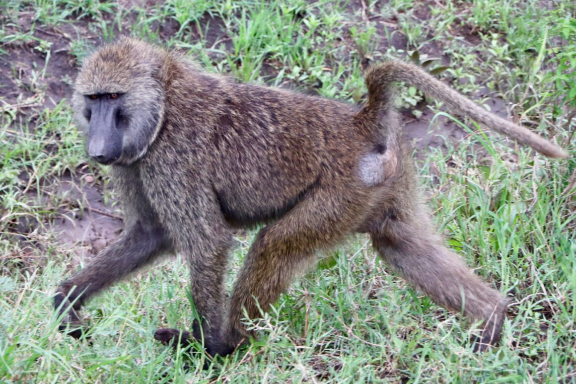 Baboon in Serengeti National Park