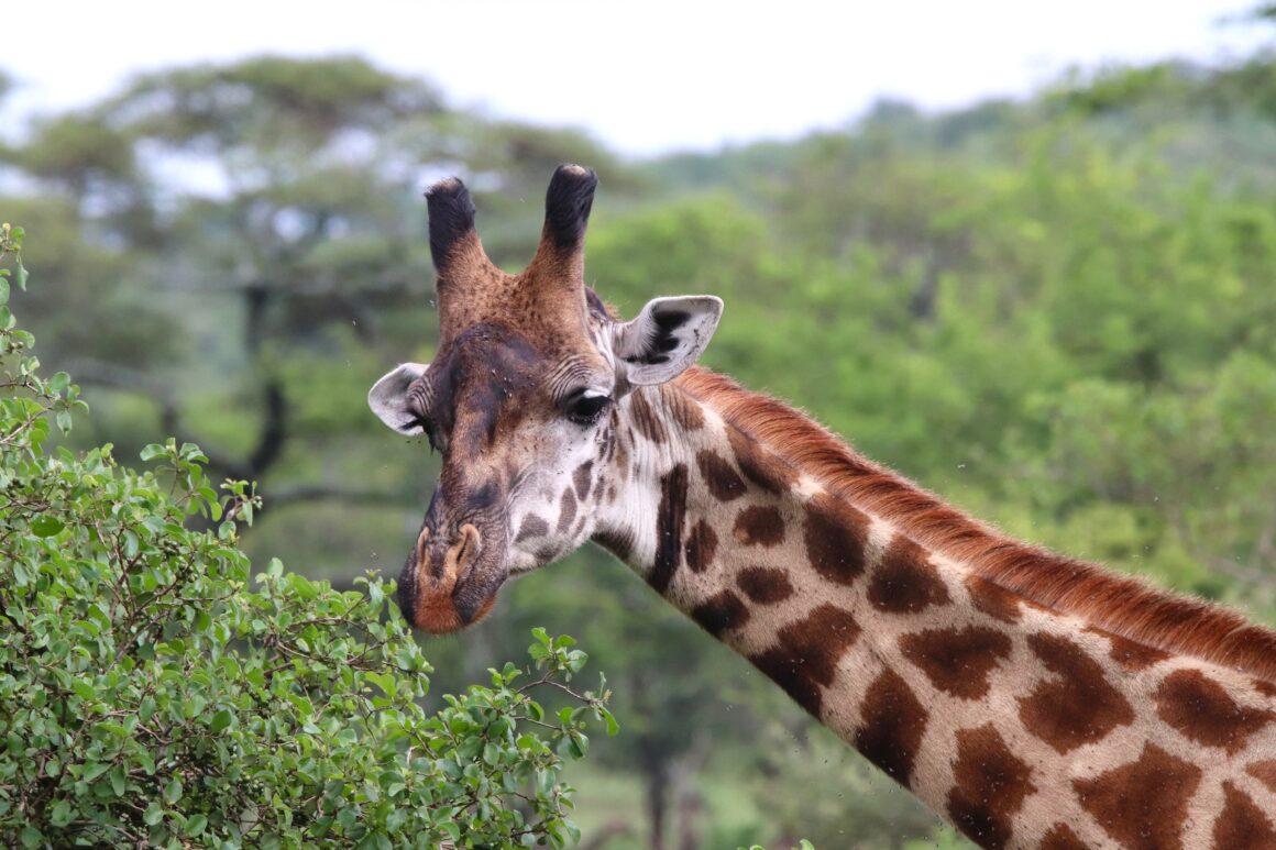 closeup-of-male-giraffe-in-serengeti-national-park
