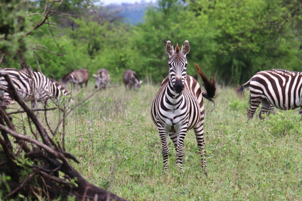 Dazzle of zebra in the Serengeti National Park