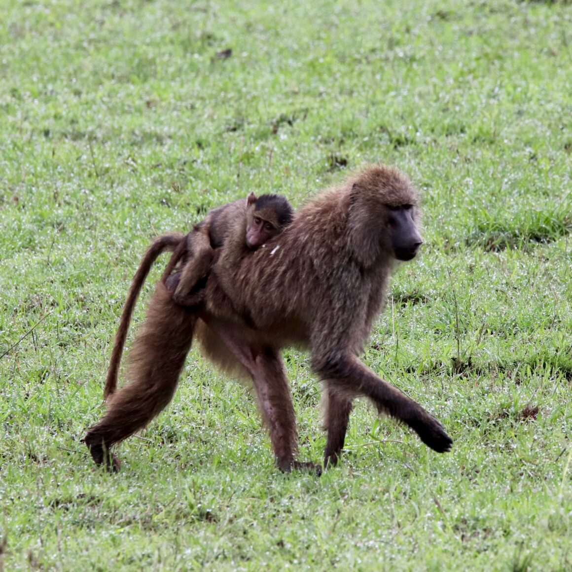 Female baboon carrying her young in the Serengeti National Park