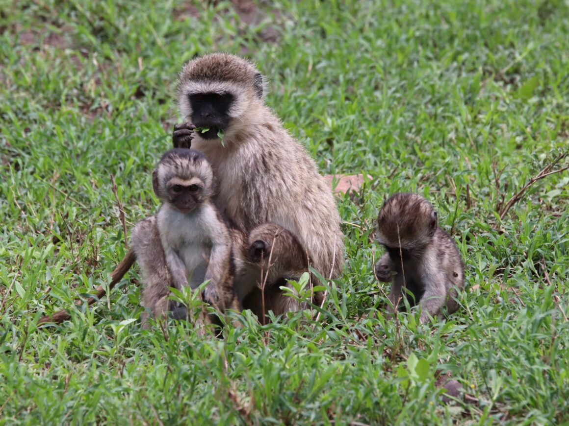 Female vervet monkey with her young in Serengeti National Park