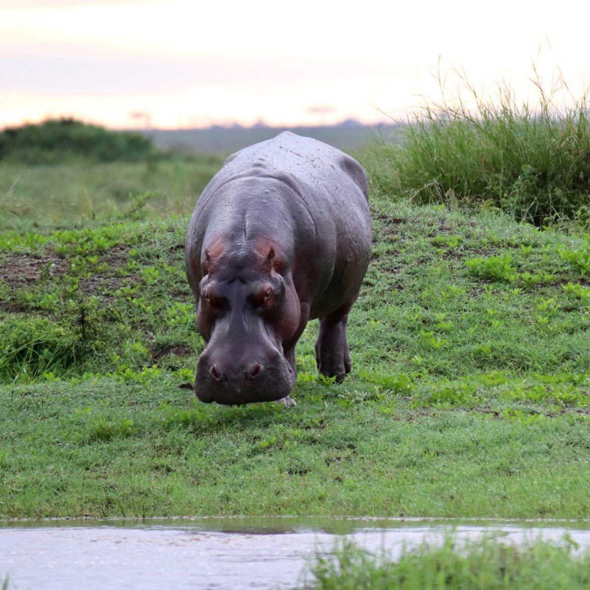 Hippo in the Serengeti National Park