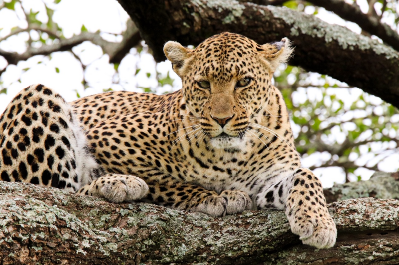 A Leopard resting in the tree in the Serengeti National Park