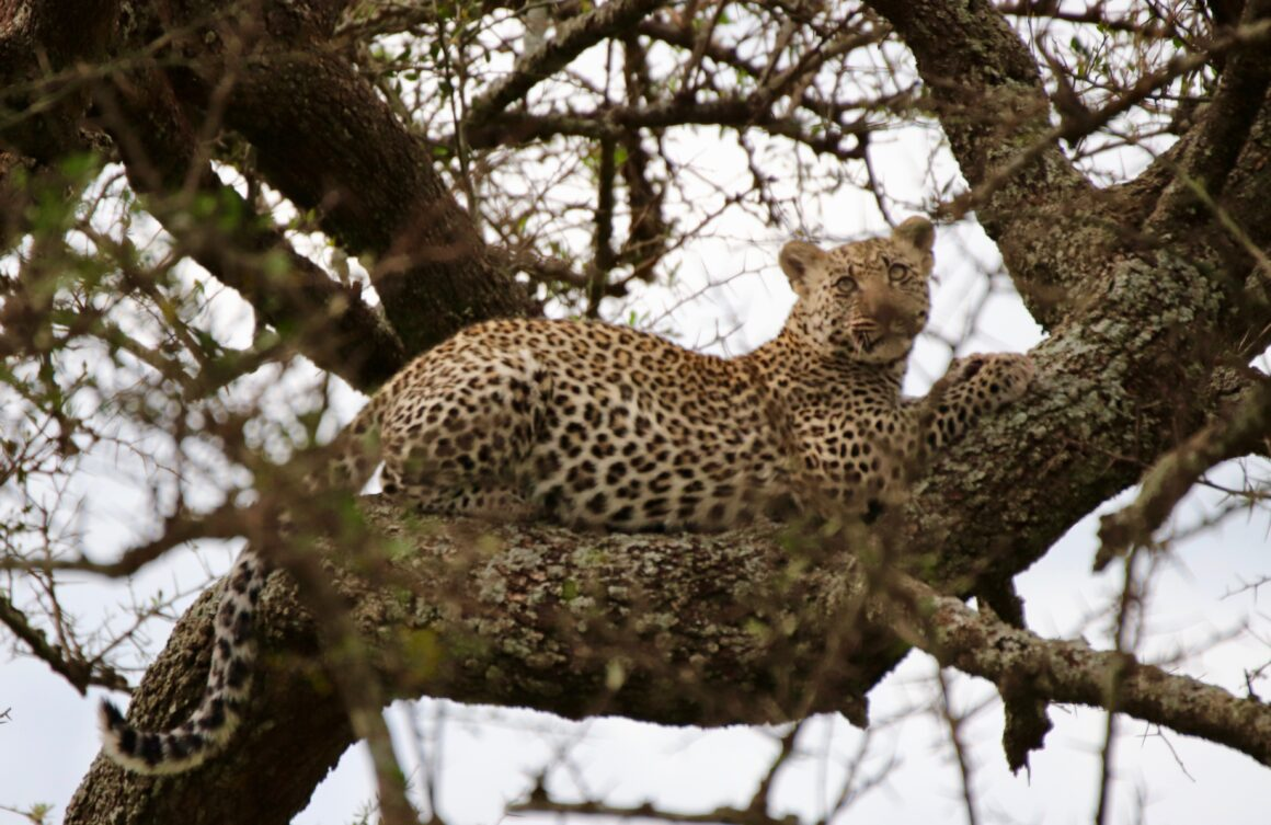 Leopard in the tree in the Serengeti National Park