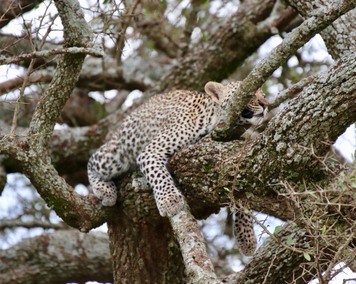 Leopard resting in a tree in the Serengeti National Park