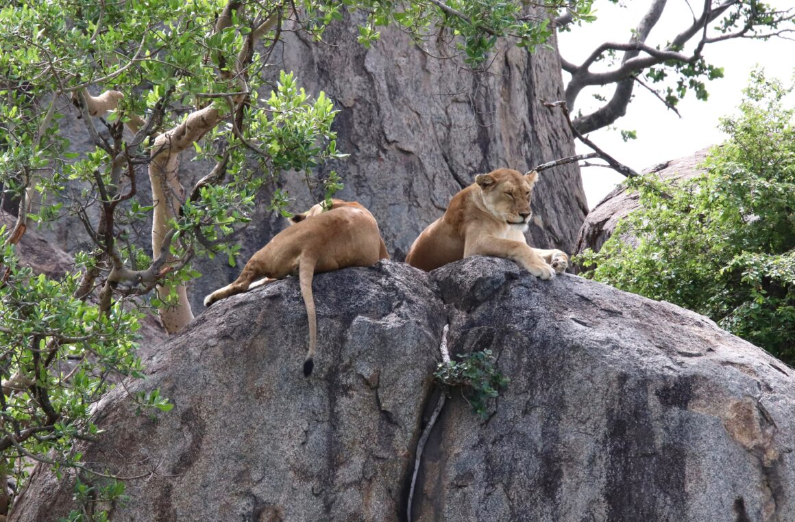 Lions resting on a rocky formation in the Serengeti National Park