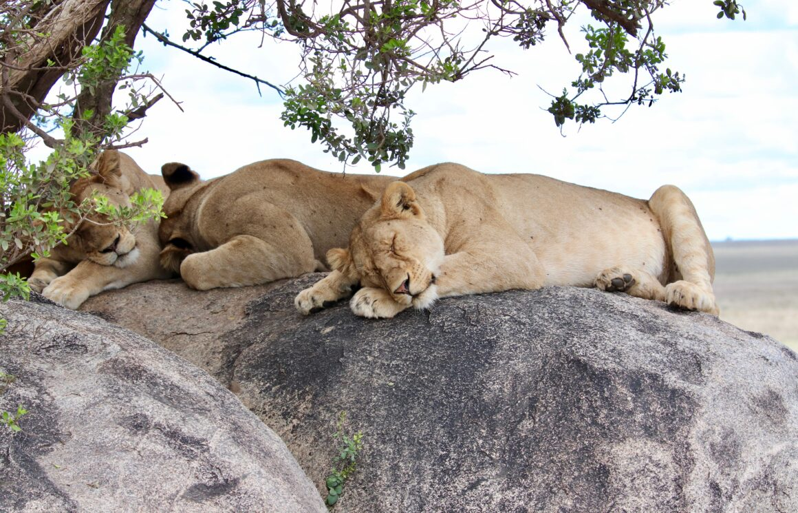 Lions sleeping on a rocky formation in the Serengeti National Park