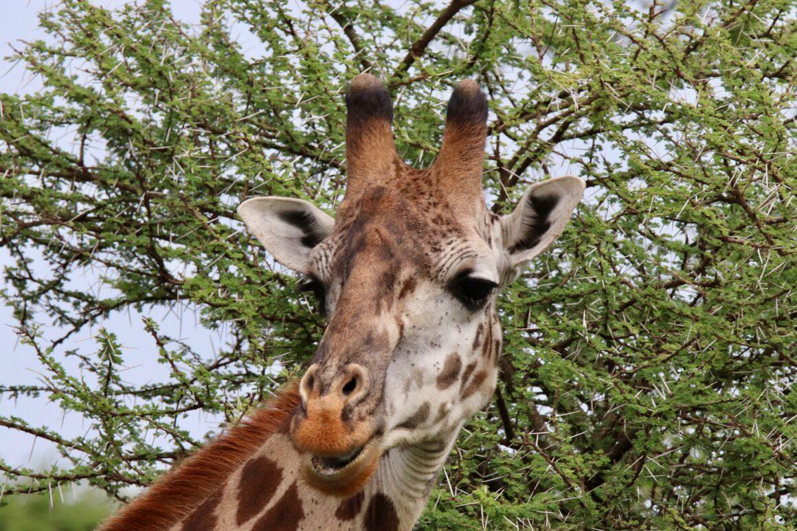 Male giraffe in the Serengeti National Park