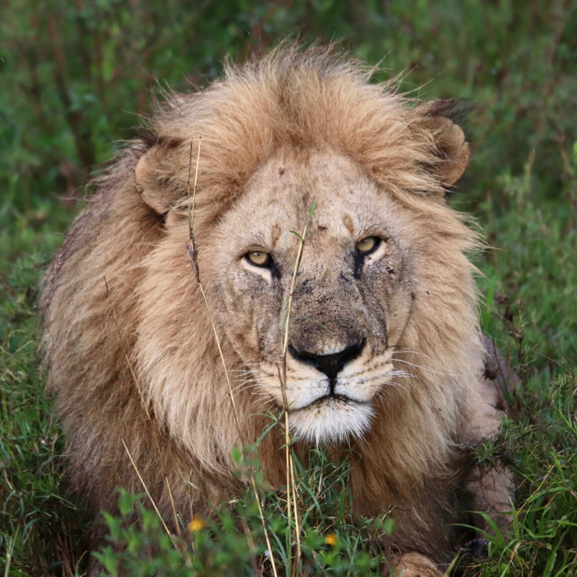 Male lion in the Serengeti National Park