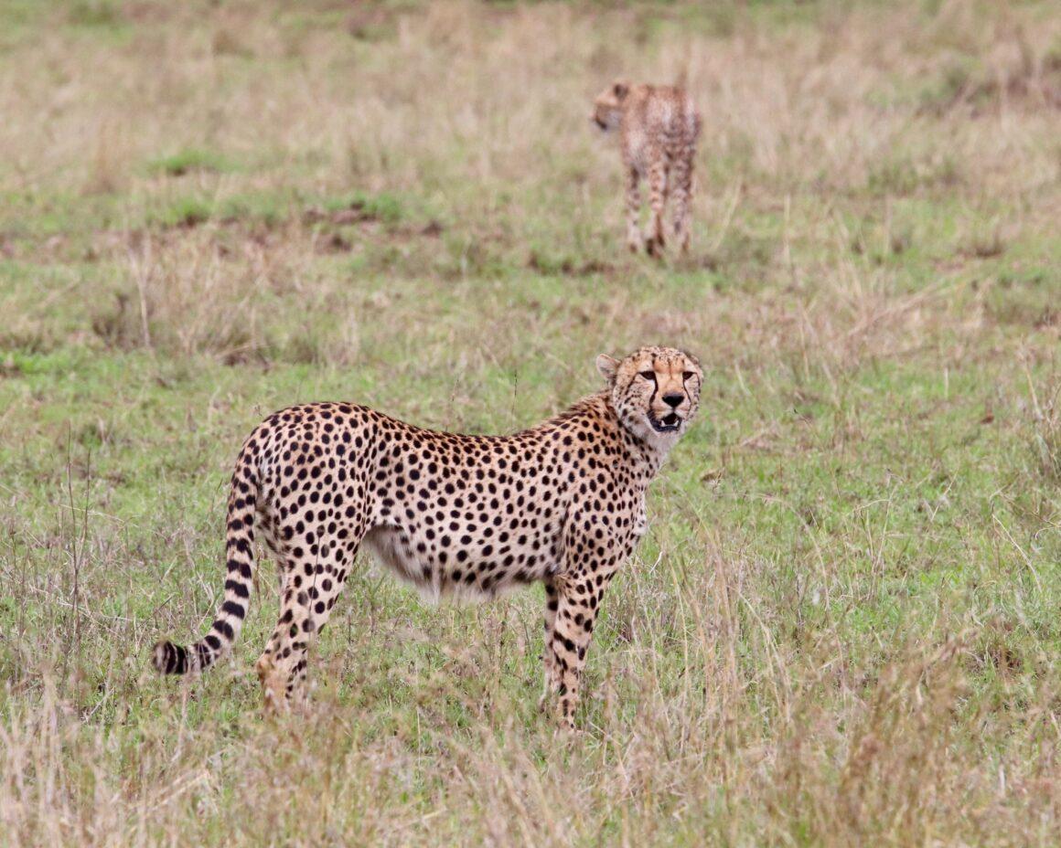 Pair of cheetah in the Serengeti National Park