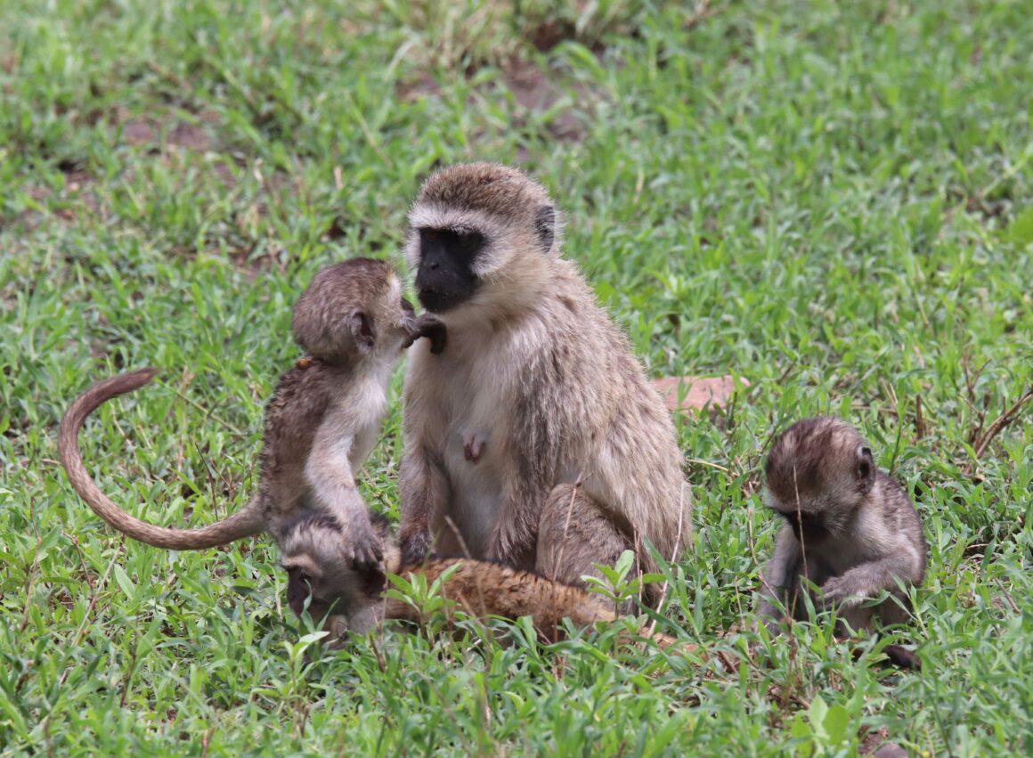 Vervet monkeys in the Serengeti National Park