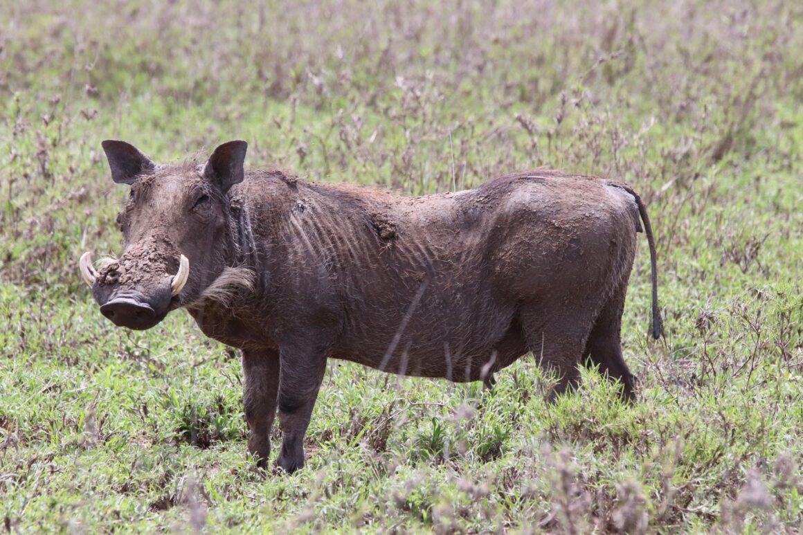 Warthog in the Serengeti National Park