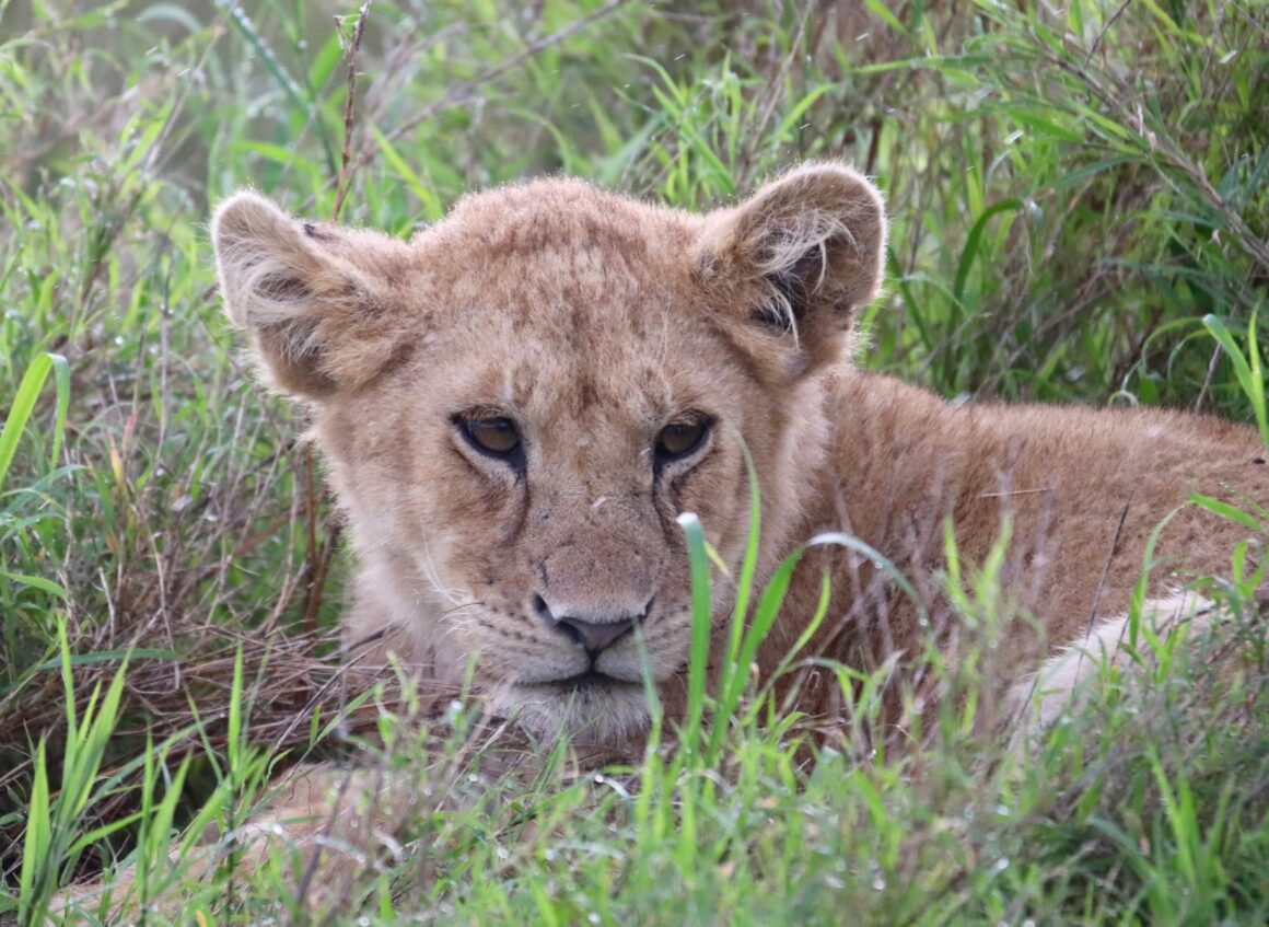 Young lion in the Serengeti National Park