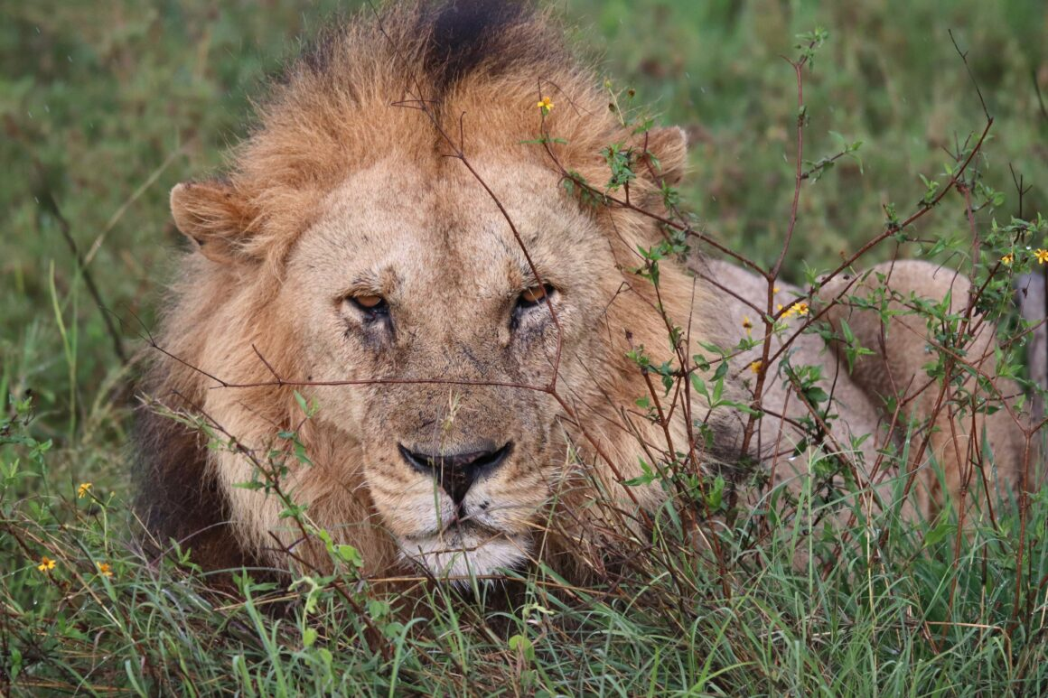 Younger male lion in the Serengeti National Park